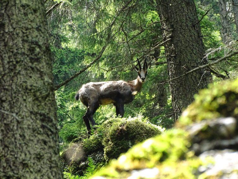 (FOTO) Din frumusețile patriei: un exemplar superb de capră neagră!